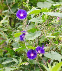 Nome botânico: Ipomoea purpurea (L.) Roth. Sin.: Convolvolus purpureus L., Pharbitis purpurea (L.) Voight, Ipomoea gladulifera Ruiz & Pav.. Nome popular: glória da manhã, ,campainha, ipoméia, corriola, bom-dia, entre outros Angiospermae - Família...