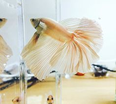 Mindblowing fins on this stunning rosy-white halfmoon! Beautiful! #halfmoonbetta #halfmoon #betta #bettafish #bettaboxx