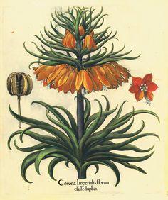 Selezione Tavole Botaniche BeslerBasilius Besler (1561-1629), botanico e farmacista norimberghese, trascorse buona parte della sua vita a prendersi cura del giardino dell'Arcivescovado di Eichstatt. Dedicò tutta la sua vita allo scopo di realizzare un'opera che descrivesse tutte le piante coltivate in quello splendido giardino botanico, aiutato dal fratello medico e da una schiera di eccellenti disegnatori e incisori tedeschi.