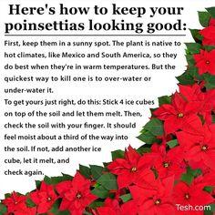 Poinsettia Care Christmas Home Wreaths Merry