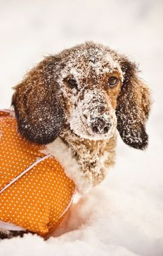 lol This is exactly what Liberty does. Immediately gets covered in snow. She loves it! www.savingpepper.com