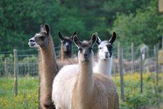 5 Llamas 54