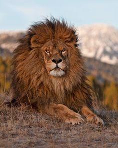 """""""Majestic Lion"""" by anitae Beautiful Lion, Most Beautiful Animals, Majestic Animals, Lion Images, Lion Pictures, Lion Photography, Lion Family, The Lion Sleeps Tonight, Lions Photos"""