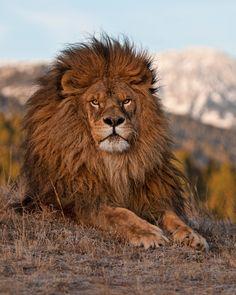 """""""Majestic Lion"""" by anitae Beautiful Lion, Most Beautiful Animals, Majestic Animals, Lion Photography, Lion Family, Lions Photos, Wild Lion, Lion Wallpaper, Lion Pictures"""