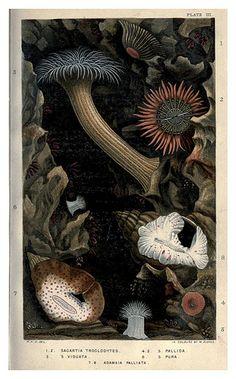005-Actinologia Britannica… 1860- Philip Henry Gosse