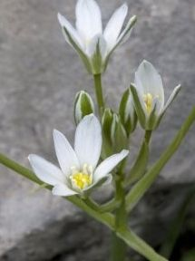 Star of Bethlehem or grass lily. I called them Easter lilies when i was little because they always come up a bit before Easter and stop blooming shortly after. Very fragrant, but can be invasive. I don't care. Let 'em bloom where they want to :)