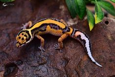 Pretty Snakes, Beautiful Snakes, Animals Beautiful, Cute Animals, Small Animals, Leopard Gecko Care, Leopard Gecko Morphs, Leopard Geckos, Les Reptiles