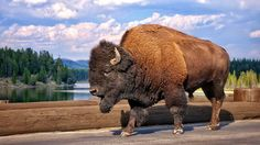 Bison, Yellowstone, 2013 by Robb Lanum - Photo 71980543 / 500px