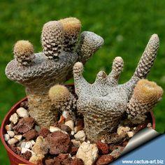 Puna  /   Maihueniopsis clavarioides