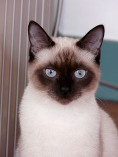 Siamese cat - their first cat was called Chap - after Chap passed away they had other breeds as well.