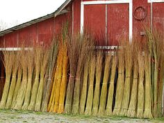 basketry willow at Dunbar Gardens in Skagit Valley - beautiful place, wonderful baskets, great people
