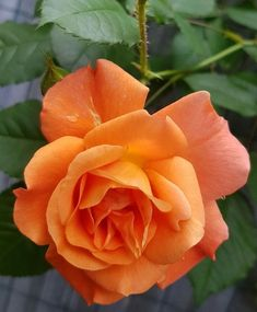 Instagram Accounts, Instagram Posts, Beautiful Roses, Watercolor, Photo And Video, Orange, Plants, Red Roses, Garden