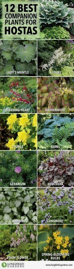 Companion Planting Companion plants for hostas. - Hostas can hold their own in a shade garden, but pairing them with bulbs and other perennials will accentuate their natural beauty and extend the season. Hosta Gardens, Garden Shrubs, Lawn And Garden, Garden Landscaping, Landscaping Ideas, Garden Shade, Backyard Shade, Backyard Ideas, Garden Beds