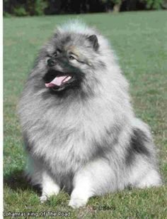 This Keeshond reminds me of Samson and Delilah our furry friends of long ago.