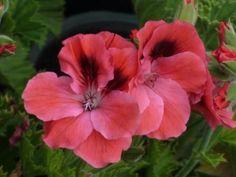 Пеларгония Clarion Pelargonium Clarion