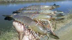 Supplemental microalgae in shrimp feed may offer improved survival in disease challenges Prawn Farming, Fish Farming, Aquaponics Greenhouse, Aquaponics System, Farming Guide, Farming Ideas, Commercial Farming, Seafood Shop, Fish Tank Design
