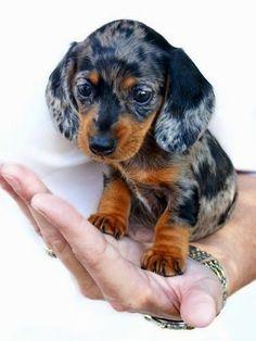 Dachshund Puppies Emma-baby dachshund by ~TriggerArtist on deviantART - Dachshund Breed, Long Haired Dachshund, Dachshund Puppies, Daschund, Chihuahua Dogs, Dachshund Clothes, Dachshund Gifts, Silver Dapple Dachshund, Dachshund Humor