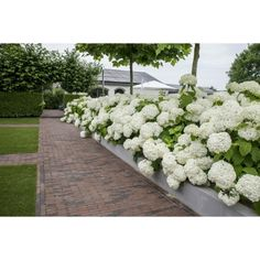 White Hydrangea, Hydrangea Landscaping, Plants, Country Gardening, Outdoor, Hortensia Annabelle, Front Yard, Hedges, Beautiful Gardens