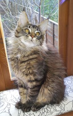 maine coon brown tabby male kitten http://www.mainecoonguide.com/what-is-the-average-maine-coon-lifespan/