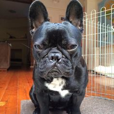 When you get all the way to work and realise you left your packed lunch at home #lunch #health #dog #frenchbulldog #frenchies #puppy #cute #batpig #sydneyfrenchies #bondi #frenchbulldogpuppy #frenchbulldogsofinstagram #instagood #sydney #australia #dogsofinstagram #dogoftheday #bulldog #bully #thefrenchiepost #frenchiesoverload #frenchieviv #bondibeach #puppies #squishyfacecrew #pets #picoftheday #bullyinstafeature #bullyinstagram