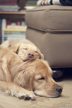 Puppy nap time. Golden buddies! Ahhhh, cute. Can't wait till we can get one!