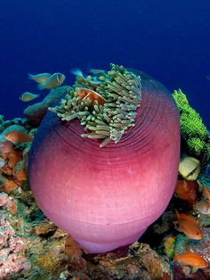 Magnificent Sea Anemone   ;)