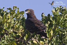 Black-breasted Snake-eagle (Circaetus pectoralis) Adult resting on a tree.