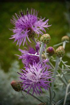 Centaurea cineraria Colchester Whitefrom Plantlust.com