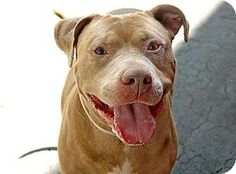 Ridgewood, NY - Pit Bull Terrier/American Staffordshire Terrier Mix. Meet Simba a Dog for Adoption.
