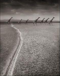 Giraffes on Migration Trail, Amboseli, 2008 Nick Brandt