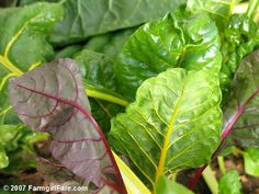 Why you should grow Swiss Chard -- Easy to grow and it lasts all summer in the garden!  Put it in your green smoothies!