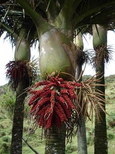 Rhopalostylis sapida, Nikau palm, the only palm endemic to New Zealand, with it's 'fruit salad' (the fruit changes colours). Tropical Garden, Tropical Plants, Trees And Shrubs, Trees To Plant, Flora, Kiwiana, Palmiers, Native Plants, Garden Plants