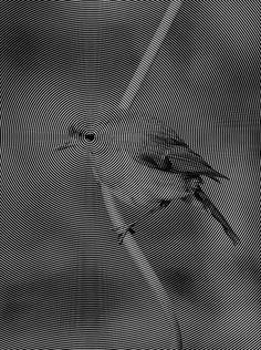 El blanco y negro es una maravilla! Dan Merhar (USA) - Spiral Bird, 2013 Graphic Designs  #LenguajeVisual #ComunicacionVisual