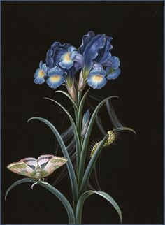 Johann Christoph Bayer 'Iris' 19th century (1738-1812), German artist. Bodycolor on card.