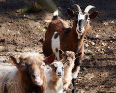 Kuk - goats - null
