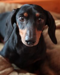 Whatever your favorite breed is, you can find one for adoption! Boo Boo the dachshund's available in Indianapolis.