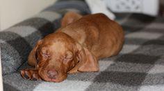 Vizsla Dog, Vizsla Puppies, Dogs And Puppies, Hungarian Dog, Puppy Dog Eyes, Argo, Best Dogs, Doggies, Madness