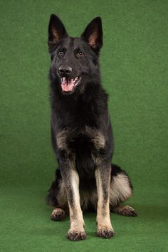 I love dogs, especially the German Sheppard. Tyka is the name of my German Sheppard.