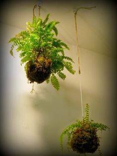 Moss and Fern String Garden - Kokedama Balls