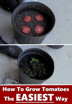 Germinate tomato seeds by just cutting your tomato into slices and laying them on top of the soil. Cover them lightly and in no time you will see your babies coming up.