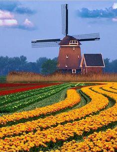 Tulip fields in Berkmeer, Holland by Jaap Hart