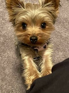 Teacup Yorkie, Teacup Puppies, Cute Puppies, Cute Dogs, Yorshire Terrier, I Love Dogs, Puppy Love, Animals And Pets, Cute Animals