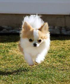 Flying chihuahua