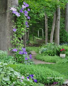clematis {metal trellis wired to the tree allows it to climb!}