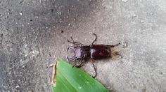 https://flic.kr/p/vx7nsG | Brownish Red Stag Beetle