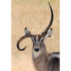 One of my favorite animals when i was a zookeeper :)          (Amateur photographer Ingrid Bunse snapped this photograph of a waterbuck with lop-sided horns while on safari in the Ongava Wilderness Reserve, Namibia.