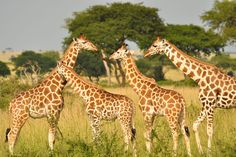 When geneticists dug into giraffes' genomes, they found something surprising: there's more than one species of the long-necked animal.