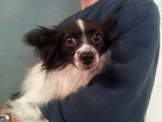 Missy is an adoptable Papillon Dog in Bogart, GA. Missy is as sweet as sugar. She came from a breeder downsizing and she deserves to be a princess in her next life. About 2-3. Adoption fee $225. Inclu...