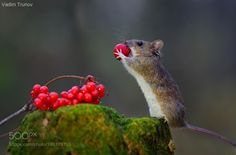 by vadimtrunov Animals And Pets, Funny Animals, Cute Animals, Cute Animal Photos, Cute Pictures, Country Critters, Harvest Mouse, Cute Mouse, Mini Mouse