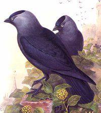 "Items similar to Jackdaw - Bird vintage print - "" x inches - on Etsy Choucas Des Tours, John Gould, Jackdaw, Vintage Prints, Illustration, Westerns, Flora, Birds, Nature"